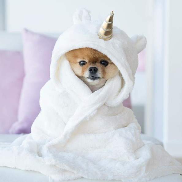 Pom, najpoznatiji pas na instagramu; Foto instagram @jiffpom