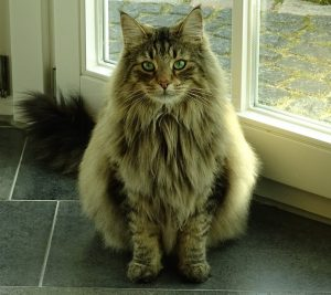 NorwegianForestCat; Foto : pixabay.com