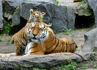 Tigar i beba tigra; Foto: pixabay.com