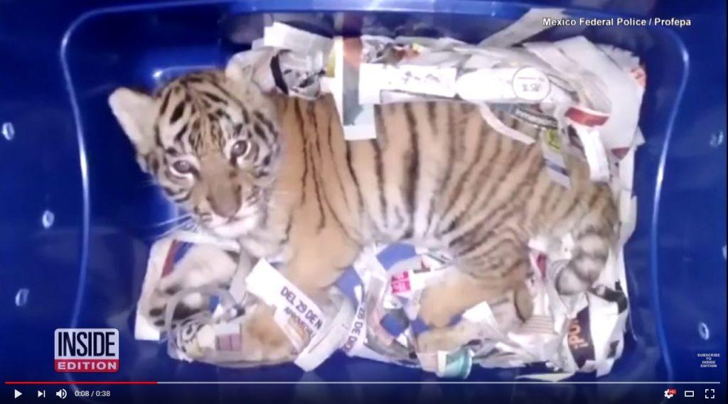 Tigar poslat postom u Meksiku; Foto youtube.com Inside Edition screenshot