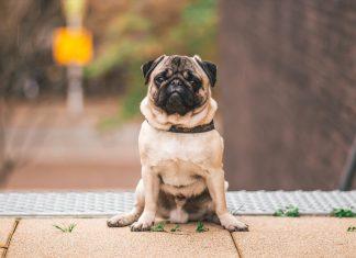 Zašto ne treba da uzmete Pug-a; Foto Steshka Willems pexels.com
