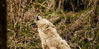 Zavijanje pasa -Zašto psi zavijaju; Foto pexels.com